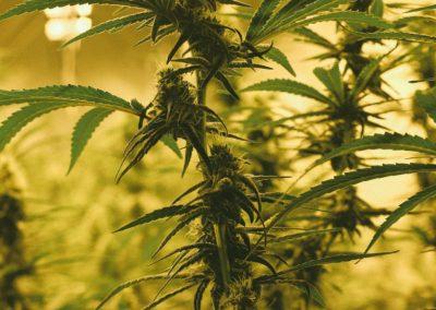 tokem_cannabis_suquamish-1024x683